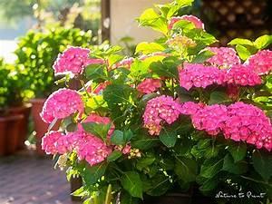 Hortensien überwintern Im Garten : hortensien im pflanzk bel pflegen und sicher berwintern ~ Frokenaadalensverden.com Haus und Dekorationen