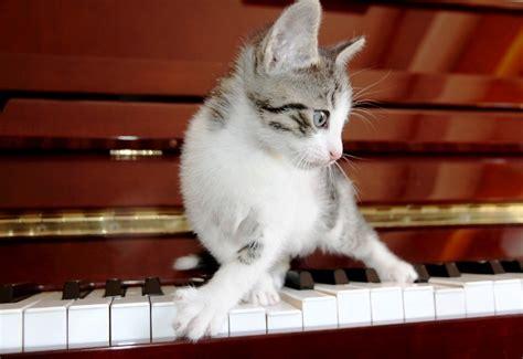 cat plays piano    cat  musical