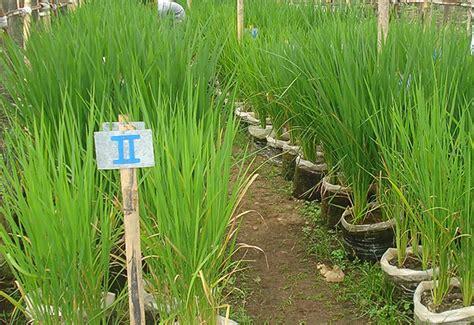 menanam padi polybag hasil panennya bagus lho