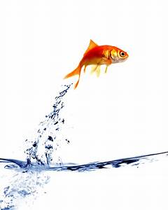 goldfish jumping out of the water   Designing