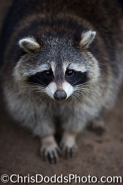photographing  common raccoon  wide open fast