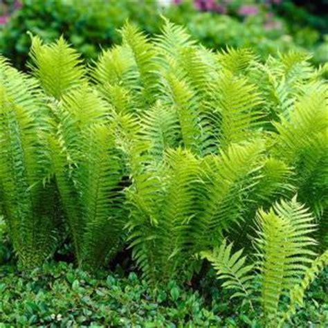 van zyverden woodland plant tn ostrich fern roots  pack