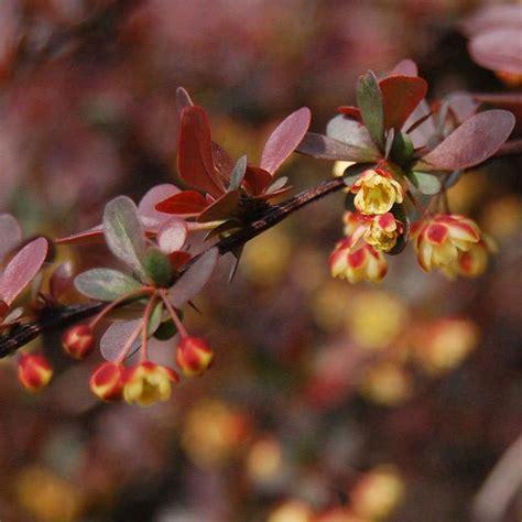 Berberis Thunbergii Atropurpurea by Berberis Thunbergii Atropurpurea Hedge Hedges Direct Uk