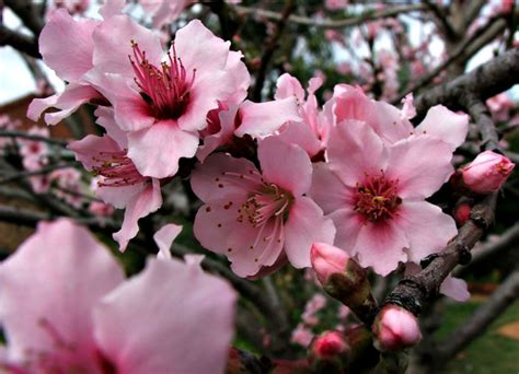 plum tree flowers free stock photos rgbstock free stock images flowering plum tree tacluda august 29