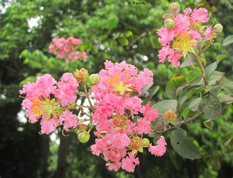 pictures of flowers and trees gifting trees the pride of india