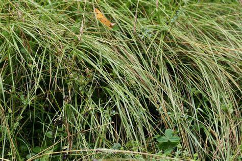 http://www.tropengarten.de/Pflanzen/bromus-erectus.html