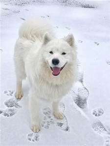 1000+ images about Poodles/Samoyeds on Pinterest | Pets ...