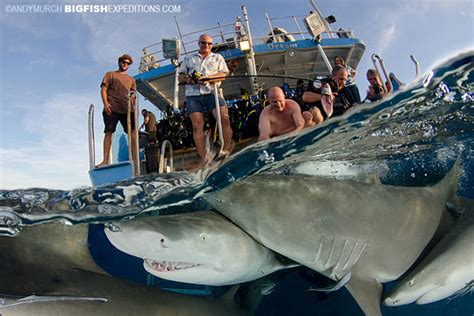 Dolphin Dream Boat Bahamas by Diving With Tiger Sharks Lemon Sharks Caribbean Reef