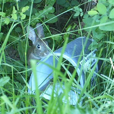 Rabbit Brush
