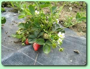 Plant De Fraisier : le fraisier les plantes potag res ~ Premium-room.com Idées de Décoration