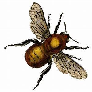 Vintage Clip Art - Beautiful Golden Bee - The Graphics Fairy