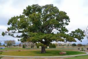 tree profiles top shade trees shumard oak