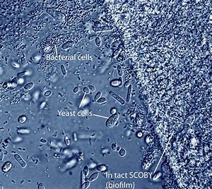 Bacteria And Yeast Cells