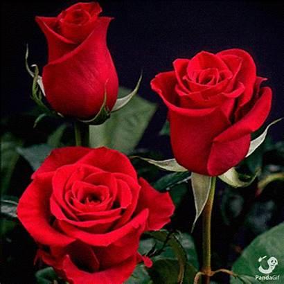 Rose Gifs Pandagif