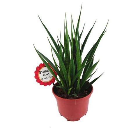 gemüse anbauen hochbeet studentenpflanze sansevieria friends lexikon f 252 r kr 228 uter und pflanzen