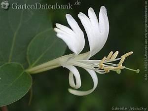 Immergrüne Kletterpflanze Winterhart : immergr ne kletterpflanze ~ Yasmunasinghe.com Haus und Dekorationen