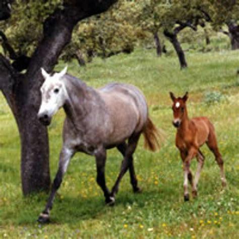 breeding  purebred spanish horse dressage today