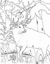 Elk Coloring Pages Animal Animals Sheets sketch template