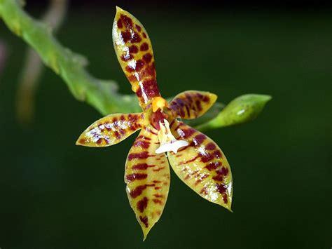 phalaenopsis cornu cervi wikipedia