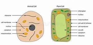 Diagrams Of Animal And Plant Cells Stock Vector