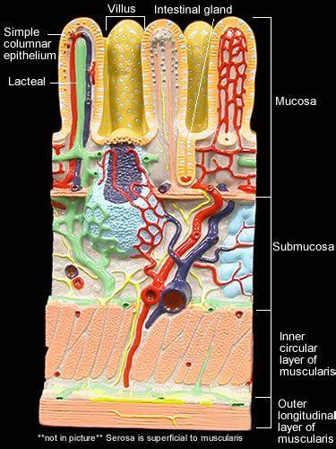 image result  digestive system models labeled human
