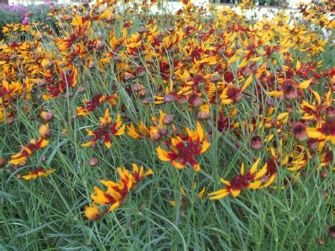 coreopsis mardi gras 551 best images about gardening on pinterest gardens tomato cages and succulents