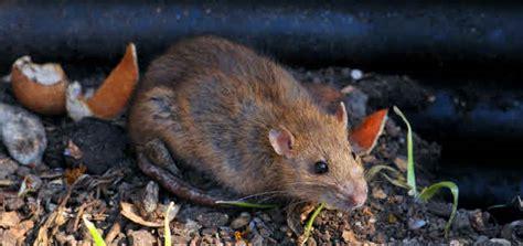 Rattenplage Im Garten › Das Gartenmagazin