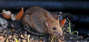 Ratten Im Kompost : rattenplage im garten das gartenmagazin ~ Lizthompson.info Haus und Dekorationen