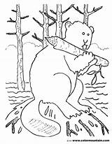 Beaver Coloring Sheet Working Activity Colormountain sketch template