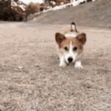 The popular Excited Corgi GIFs everyone's sharing