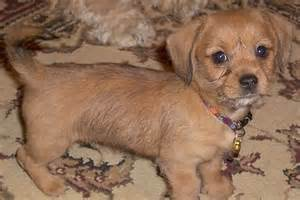Jack Rat Terrier Shedding by Schweenie Dachshund Shih Tzu Mix Info Puppies