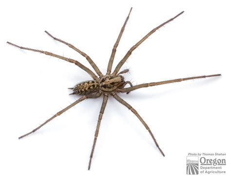 house spider oregon house spider eratigena atrica oregon