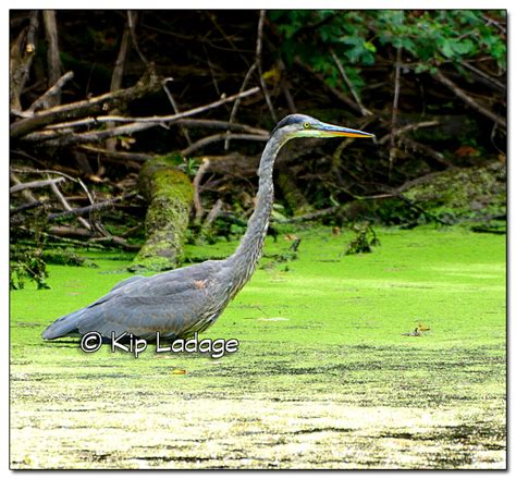 great blue heron range kip s comments 8 27 15 ladage photography
