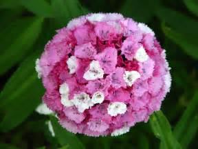 sweet william flowers file dianthus barbatus flowers 02 jpg wikimedia commons