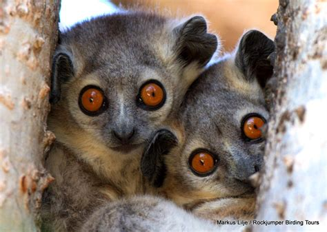 Rockjumper Worldwide Birding Adventures Madagascar