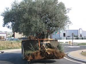 taille olivier en pot coudec