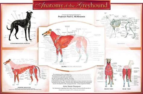 11 Best Greyhound Anatomy Images On Pinterest