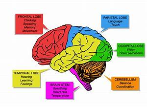 Which Part Of The Brain Deals With Thinking