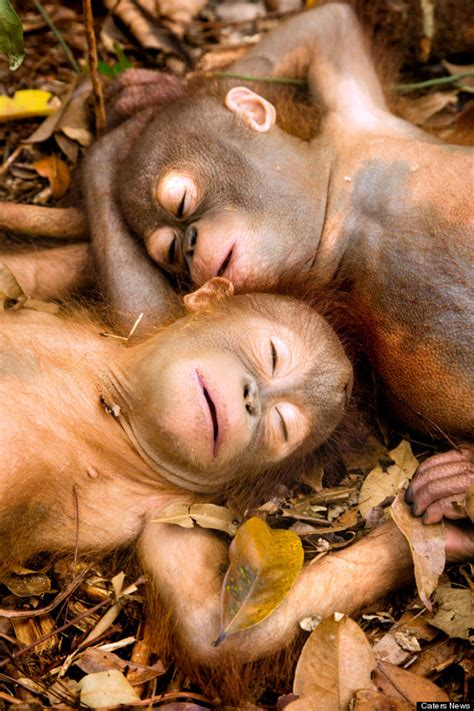 adorable rescued orangutans  trophy hunting