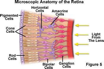 receptor cells in the retina responsible for color vision are molecular expressions microscopy primer physics of light