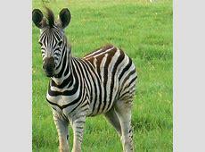 National Animal Of Botswana Zebra 123Countriescom