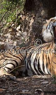 Large Dominant Male Tiger Of Ranthambhore (Panthera Tigris ...