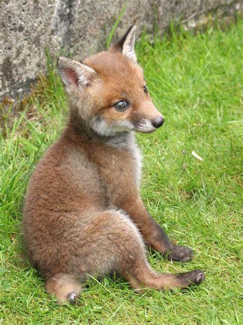 meet  real life fox   hound uk news express