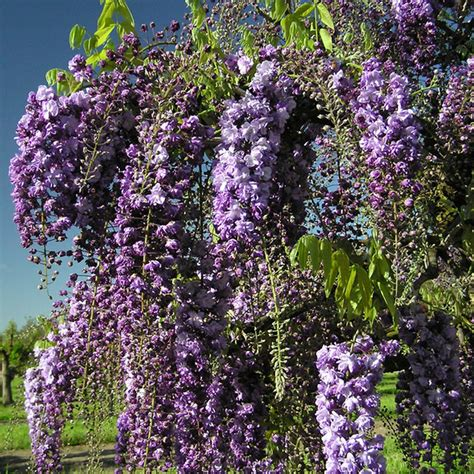 tree with lavender flowers wisteria floribunda black dragon purple climbing wisteria trees