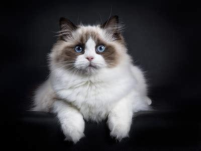 gatto da appartamento razza gatto ragdoll una delle migliori razze di gatti da