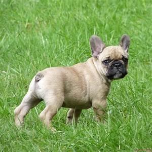 Hundebekleidung Französische Bulldogge : franz sische bulldogge ~ Frokenaadalensverden.com Haus und Dekorationen