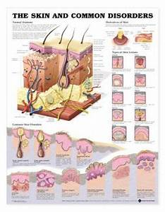 Skin Chart The Skin And Common Disorders