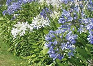 Graines D Agapanthe : agapanthe duo bleu et blanc nova flore jardin ~ Melissatoandfro.com Idées de Décoration