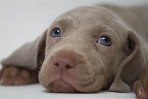 Weimaraner puppy 5 weeks old,laying down tired,blue eyes ...