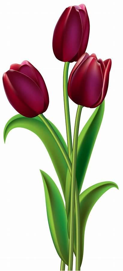 Tulip Flower Clipart Tulips Flowers Dark Bunga